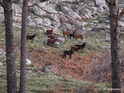 Perlenfaenger Wildpferde Portugal
