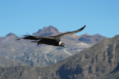 Kondor am Cruz del Condor, dem besten Platz der Welt um Kondore zu beobachten.